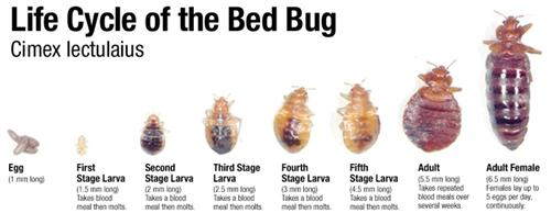 Life Cycle of the Bed Bug